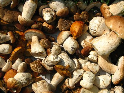 Mushrooming in the Czech Republic