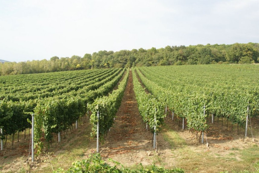 Mikulov Vineyards