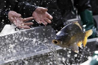 Activists alert to cruel treatment of carp before Christmas